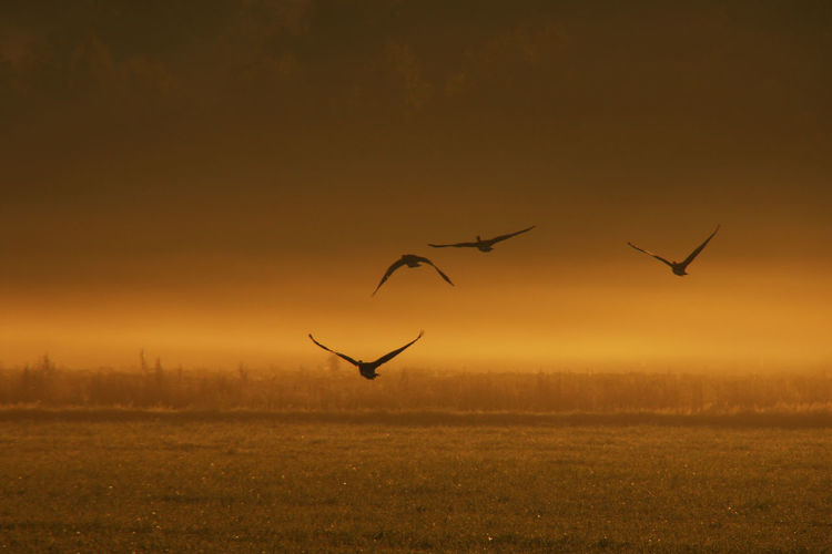 Birds flying over field during sunset