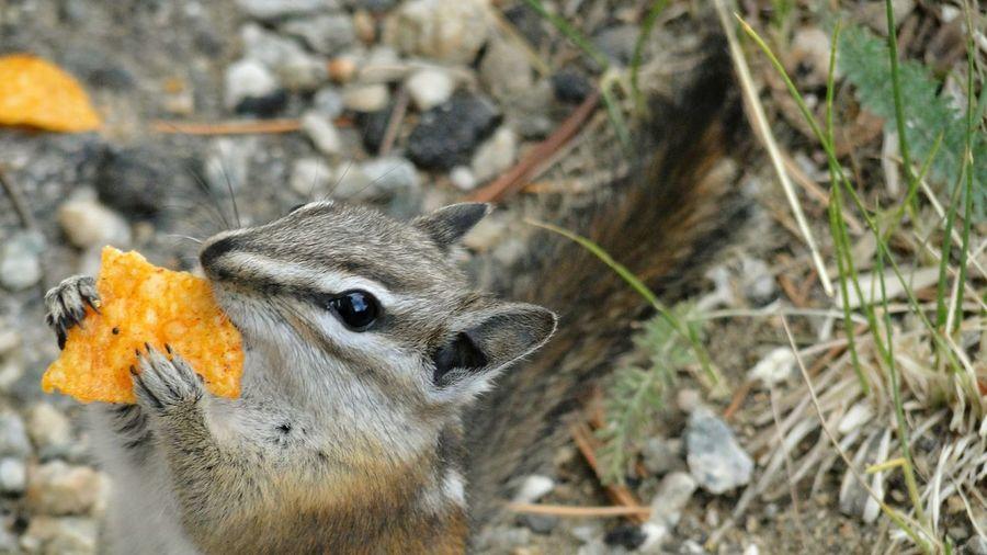 Close-up of chipmunk eating potato chip