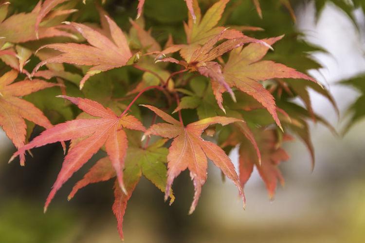 Japanese Autumn
