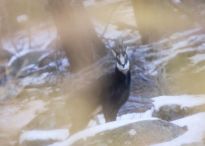 Chamois Animal Animal Themes Animals In The Wild Winter Outdoors Nature One Animal Animal Wildlife No People Beauty In Nature Snow Animallovers Mountain Naturelovers Eyem Best Shots Eyemphotography