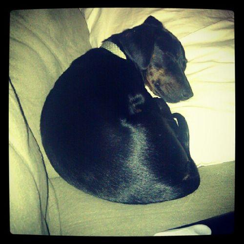Cute Dachshund Weeniedog Sleeping ilovemydog ifuckinglovemydog odie instagram instagood popular petstagram ilovemydachshund