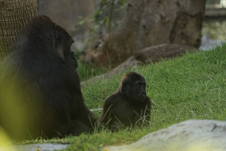 Close-up of gorillas sitting on grass