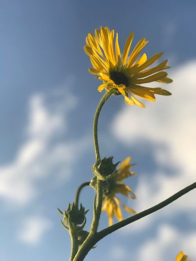 Close-up of yellow flowers blooming against sky