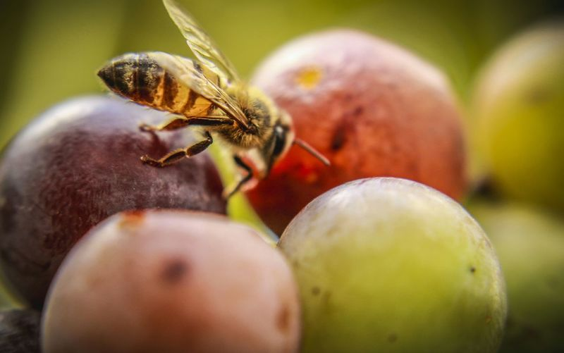 Close-Up Of Bee On Fruits