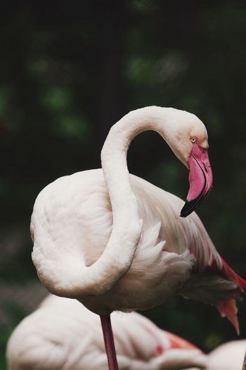 Flamingo in the zoo. Dusit Zoo Bangkok Thailand Bird Animal Wildlife Animals In The Wild Animal Themes Animal Vertebrate One Animal Flamingo Close-up Animal Neck Beauty In Nature Animal Body Part Outdoors