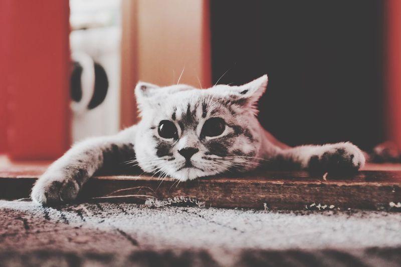 Cat Britishcat Tired Relaxing