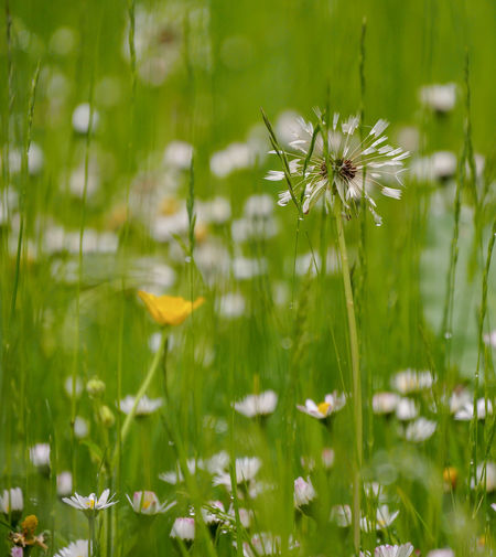 """The richness of the rain made me feel safe and protected; I have always considered the rain to be healing — a blanket — the comfort of a friend."" ..........Douglas Coupland....... Natures Artwork Love The Rain Lifegiving Rain Dandelion Seed Head Raindrops On My Window My Rainy Garden In My Garden Daisy Daisy In The Rain Buttercup Blurred Beauty The Great Outdoors Simple Quiet Love Purity Fresh Alive  Nature Lover Peace Soft And Pure Rain Soaked Rainy Day Refreshing View Through Glass Wet Day Beautiful Fresh Rain Balcony Glass Flower Wildflower Close-up"