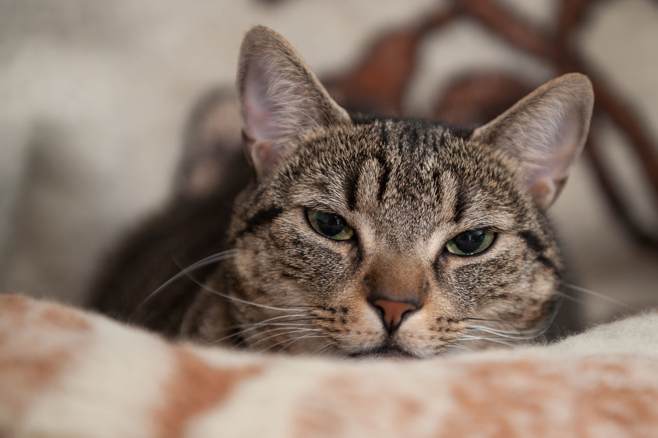domestic cat, animal themes, one animal, feline, pets, domestic animals, whisker, portrait, mammal, looking at camera, close-up, selective focus, no people, indoors, day