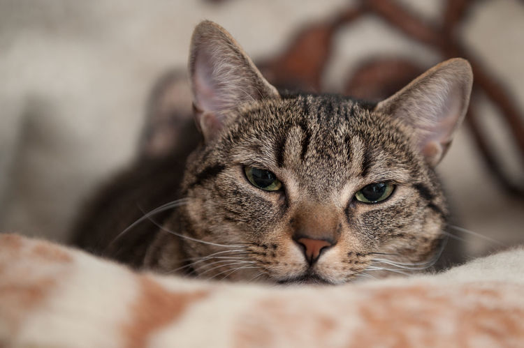 cat before sleep Animal Themes Cat Close-up Day Domestic Animals Domestic Cat Feline Home Interior Indoors  Looking At Camera Mammal No People One Animal Pets Portrait Relaxation Whisker