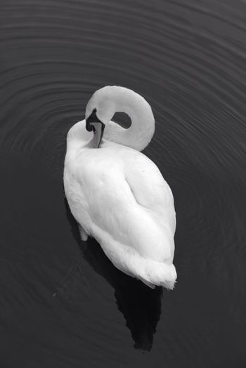 Close-up of swan on water
