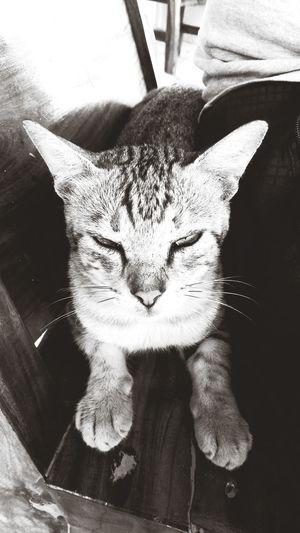 Mood Fiercefelines Pets Portrait Feline Sitting Domestic Cat Whisker Cat Close-up