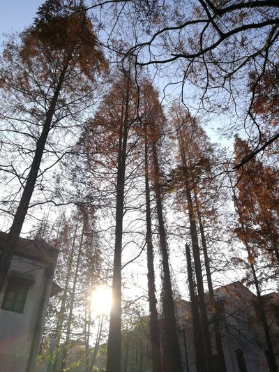 Shanghai Morning Gold Colored Sunlight Low Angle View Tree Day Nature Branch Clear Sky Outdoors Tree Trunk Beauty In Nature