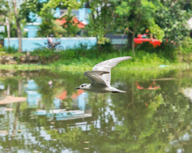 Flying Bird Raod Transportation Backgrounds Background Bird Photography Birds Bird Flying One Animal Animals In The Wild Animal Themes Spread Wings Animal Wildlife Mid-air Reflection Focus On Foreground Day Water Nature Lake Outdoors Beauty In Nature No People