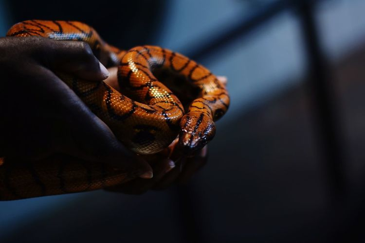 Snakes Snakes Are Beautiful Slither Reptiles Scale  Close Up Zoo Animals Dubai Reptile Black Background Close-up Animal Scale Snake Animal Skin