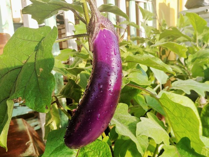 fresh eggplant Brinjal 🍆 Plantation Farm Garden Organic Radish Food Carrot Home Backyard Vitamins Vegetable Seeds Diet Background Vegan Fresh Green Vitamin Nutrien Agriculture Long Organic Farm Agricultural Field Farmland Harvesting Vegetable Garden Farmer Homegrown Produce Community Garden Passion Flower