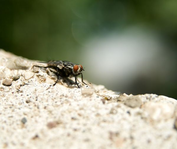 Close-up of housefly on rock