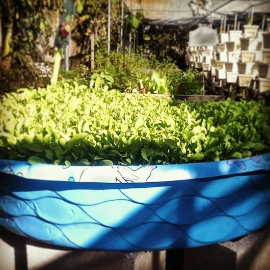 Seriously, what else would you use a baby Pool for besides growing some scrumptious Lettuce ? Cultivation Afternoonstroll poolofgoodness instagoodlife healthyliving fortlauderdale awholelotofyum