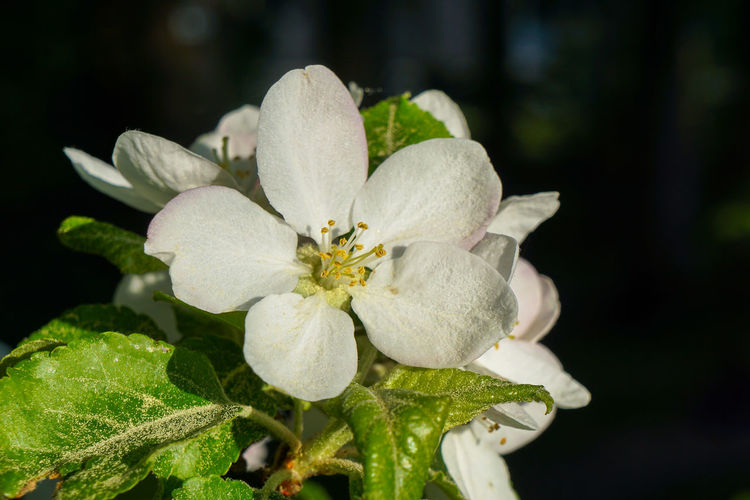Apple Blossom Beauty In Nature Blossom Close-up Flower Flower Head Flowering Plant Focus On Foreground Fragility Freshness Growth Inflorescence Leaf Macro Nature No People Outdoors Petal Plant Plant Part Pollen Spring Vulnerability  White Color
