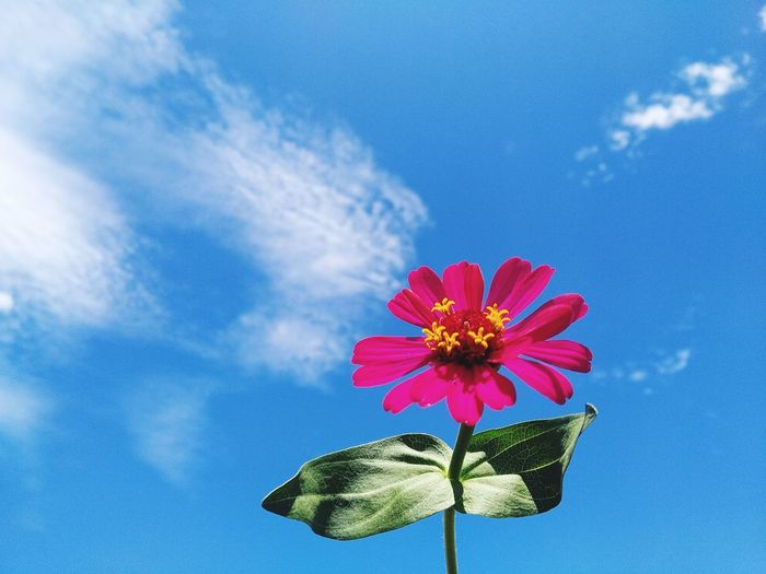 Close-up of pink flower against blue sky