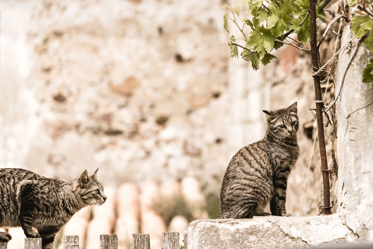 Two cats on the wall with wine leafs in the background Animal Animal Themes Built Structure Cat Cat On The Wall Day Domestic Domestic Animals Domestic Cat Feline Looking Mammal Nature No People One Animal Outdoors Pets Portrait Tabby Two Cats Vertebrate Wall - Building Feature Whisker