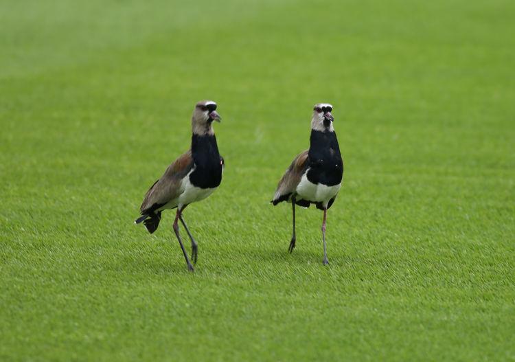 Two birds on a field
