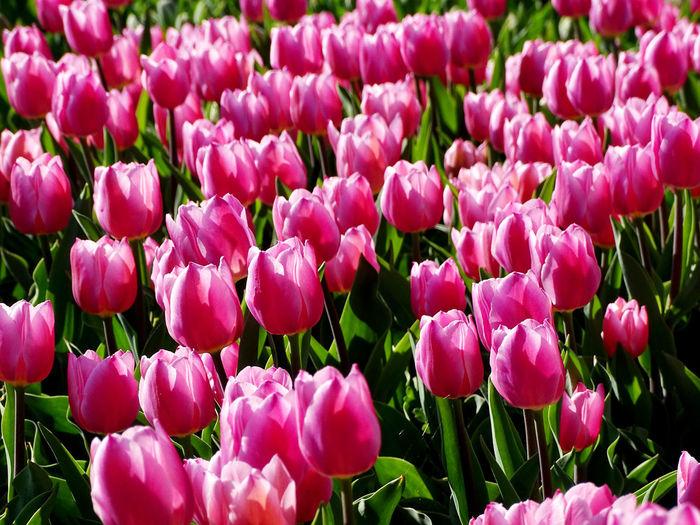 Beauty In Nature Flower Collection Spring Flowers Flower Head Flower Flowerbed Pink Color Crocus Springtime Petal Tulip Purple Blossom Plant Life