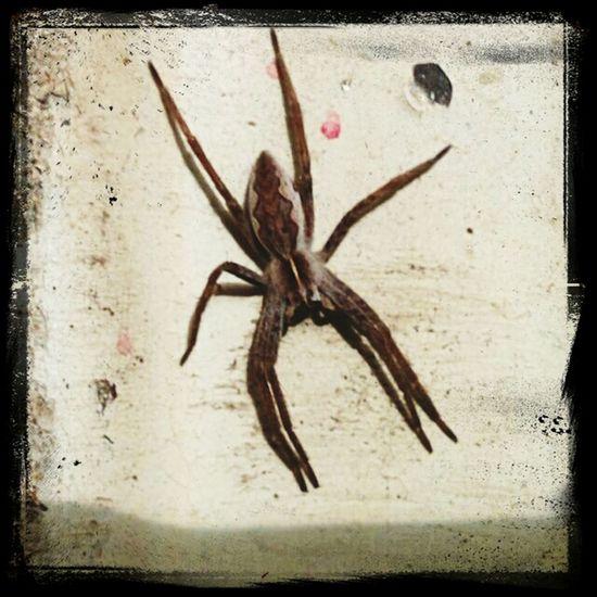 Found this cute little guy/girl in my garage, sitting on the radiator. Spider Arachnid Spindel Imsevimse