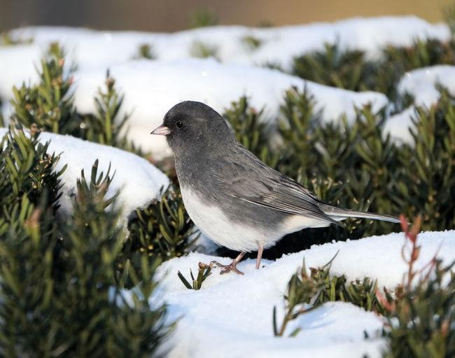 Junco Snow