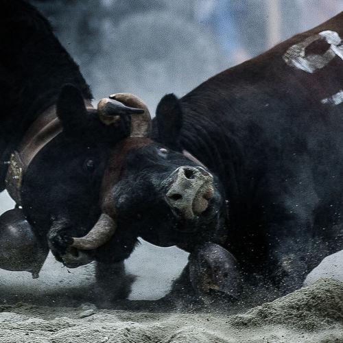 Combat des reines 1 Power WeekOnEyeEm Dominance Effort Animal Themes Combat Cowcombat Cows Livestock Nature No People Outdoors