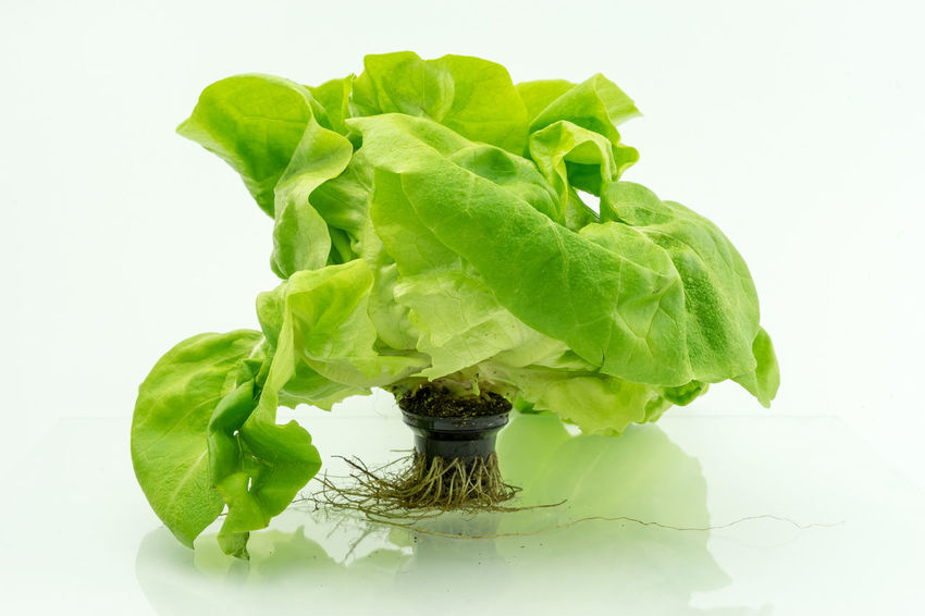 Aquaponic Close-up Copy Space Freshness Green Green Green Color Healthy Hydroculture Indoors  Lettuce Nature No People Organic Plant Plant Pot Roots Salad Show Us Your Takeaway! Showcase April Still Life Studio Shot White White Background