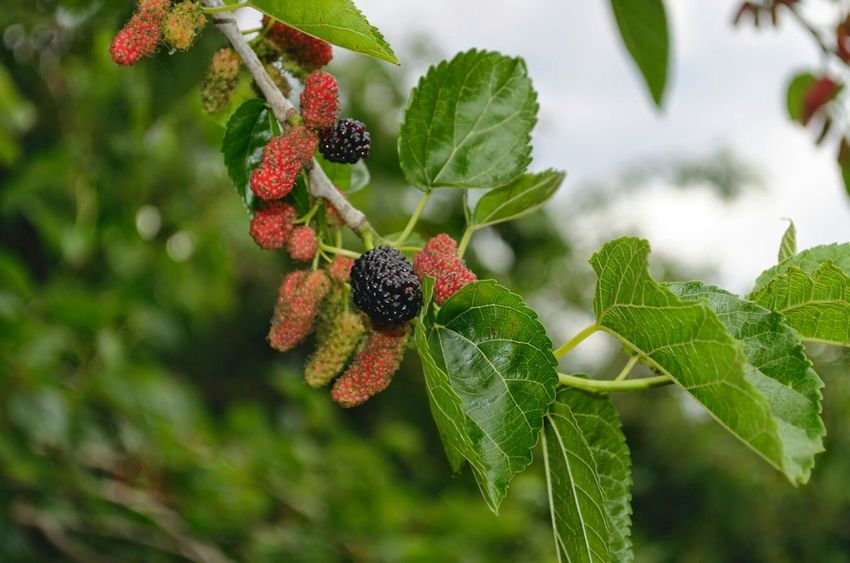 Mulberry Tree Mulberries