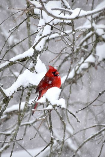 Snowy Spring Day Cardinal Snowy Day ❄ Beauty In Nature Branch Male Cardinal Bird Nature No People One Animal Outdoors Perching Red Snow Snowing Tree Winter