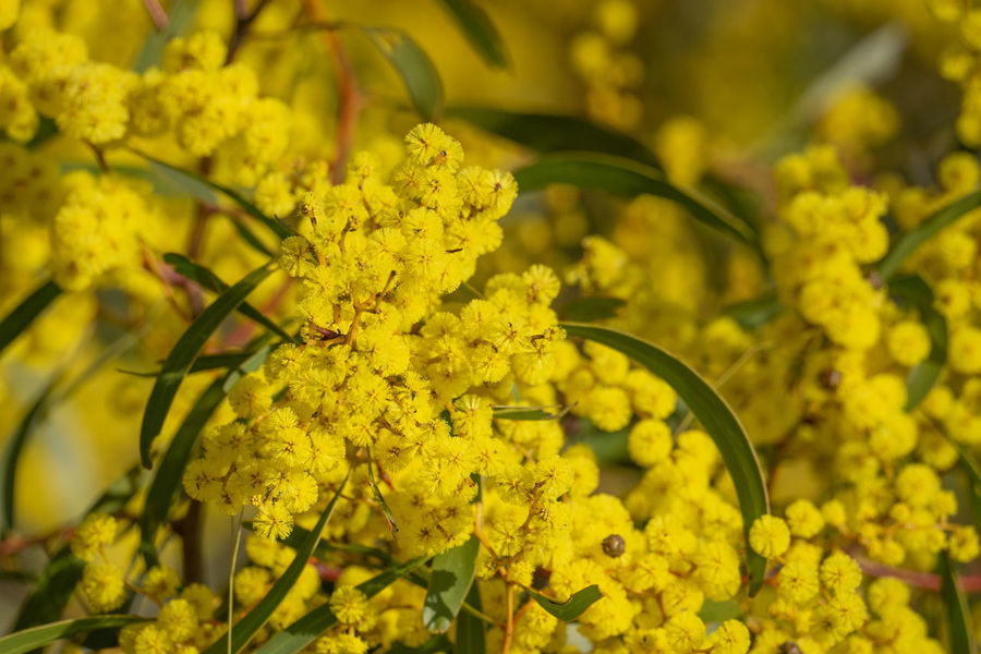 Golden Wattle Flowering (Acacia pycnantha), Bendigo, Australia. Golden Waterfall Beauty In Nature Close-up Day Floral Emblem Flower Flower Head Flowering Plant Focus On Foreground Fragility Freshness Golden Wattle Growth Inflorescence Leaf Nature No People Outdoors Petal Plant Selective Focus Vulnerability  Wattle Wattle Flower Yellow