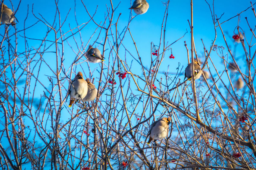 Wintertime Animal Animal Family Animal Themes Animal Wildlife Animals In The Wild Bare Tree Bird Blue Branch Day Group Of Animals Low Angle View Nature No People Outdoors Perching Plant Sky Tree Two Animals Vertebrate Waxwing Waxwings