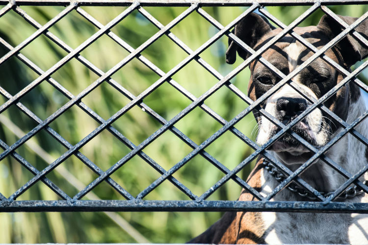 Close-up of boxer dog behind fence
