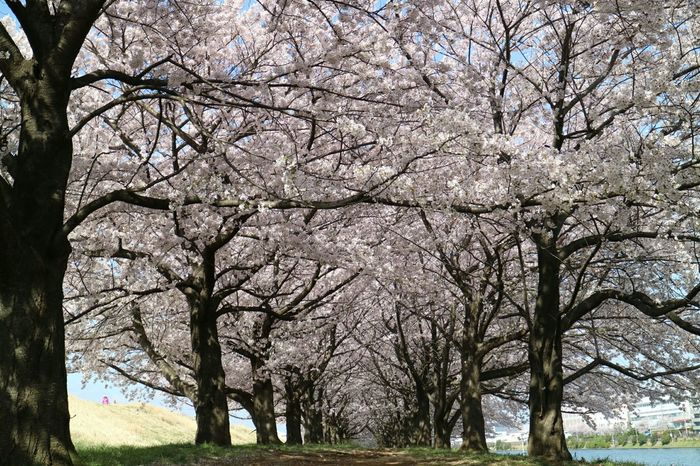 Flower Scenery Trees Cherry Blossom Eyem Flower_collection Check This Out Eyem Best Shots - Flowers Tree_collection  Open Edit