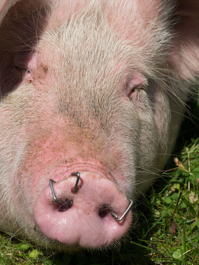 Pink Sus Scrofa Sus Scrofa Domesticus Animal Animal Body Part Animal Head  Animal Nose Animal Themes Bristles Close Up Domestic Domestic Animals Livestock Mammal Nature No People Nose Omnivore One Animal Outdoors Pig Pig Bristles Pig Snout Piglet Snout