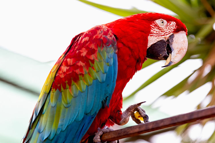 Close-up of scarlet macaw perching on metal