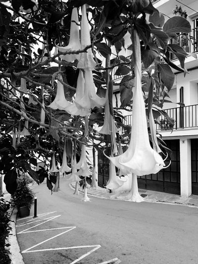 Floral tree Eye4photography  EyeEm Gallery EyeEmNewHere Bw_ Collection BW_photography Black & White Black And White Blackandwhite Iphonephotography Iphoneonly IPhoneography Plant Streetphoto_bw Streetphotography Flowers Tree Treeflower Hanging Day Women Architecture Built Structure Plant Tree