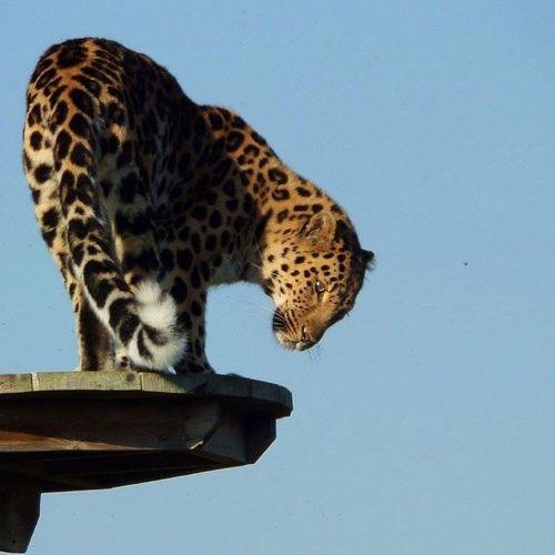 Leopard Big Cat Bigcats Bigcatphotography
