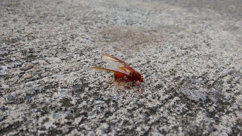 Hormiga Culona Hormigas Culonas Hormigas Animals Insect Photography Ants Insect_perfection Insect Photo Ant Photography Insects Collection Animal_collection Eyeem Insects Photography