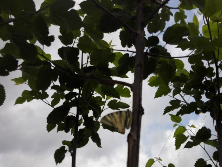Mulberry Branches Mulberry Tree Butterfly - Insect Insect Butterfly Critter Veronica Photos Ionita Veronica Photos Ionita Photography Wolfzuachiv Veronica Ionita Photos Tree Leaf Nature Green Color Tree Trunk Branch No People Outdoors Sky Close-up Day