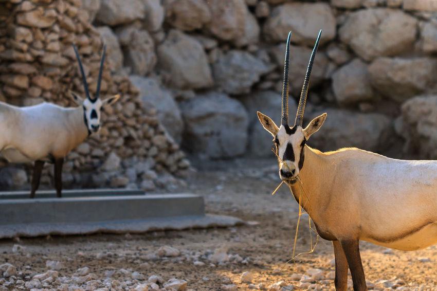 Oryx antelope EyeEm Best Shots EyeEm Nature Lover EyeEm New Here Wildlife Conservation Animal Themes Animals Antelope Fauna Horned Horned Animals Mammal Nature No People Oryx Outdoors