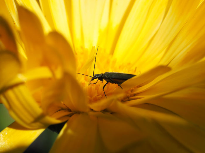 Macro shot of insect on yellow tickseed flower