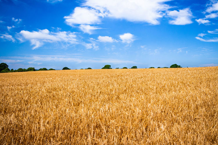 Sky Field Landscape Land Agriculture Cloud - Sky Tranquility Tranquil Scene Beauty In Nature Plant Environment Rural Scene Crop  Scenics - Nature Day Nature Cereal Plant Growth No People Farm Outdoors Plantation Wheat Wheat Field Field Rural Agriculture Farm Farmland