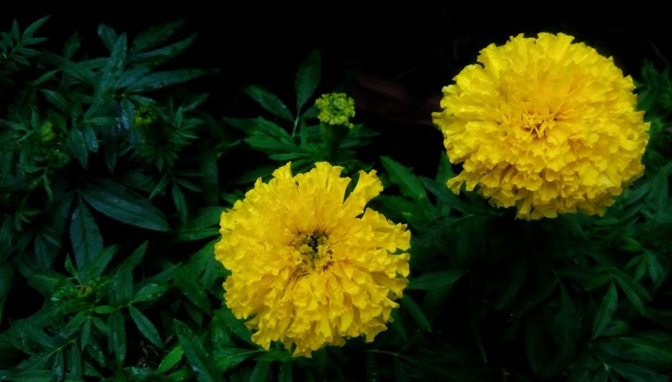 Beautiful marigold Flower Marigold Yellow Plant Freshness Floral Nature Colorfulflower Beautifulflower  Beauty In Nature Colorful Yellow Flower Flora