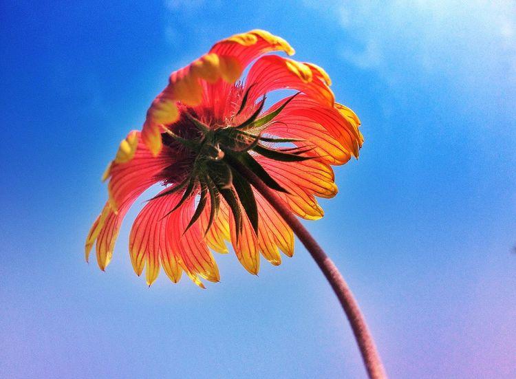 一枝独秀 街拍 Snapseed 合肥影像 IPhoneography 街头摄影 IPhone4s 手机摄影 Photography Hefei Flower
