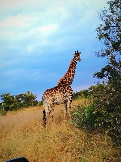 Animals In The Wild Animal Animal Wildlife Safari Animals Giraffe Nature African Wildlife African Beauty Outdoors Africa Safari Animals In The Wild Pregnant Beauty EyeEm Selects Huawei P9 Leica Huaweiphotography
