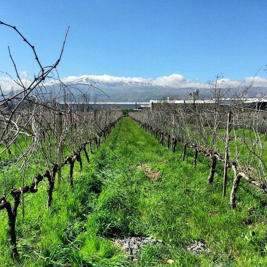 Massaya Winery Beqaavalley Lebanon