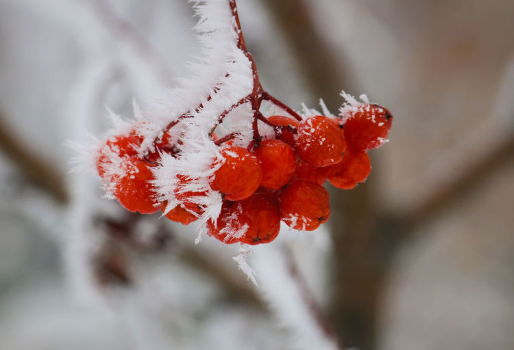 Close-Up Of Frost On Rowanberries